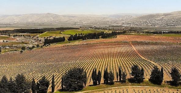 vignes au Liban